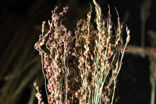 Broomcorn closeup
